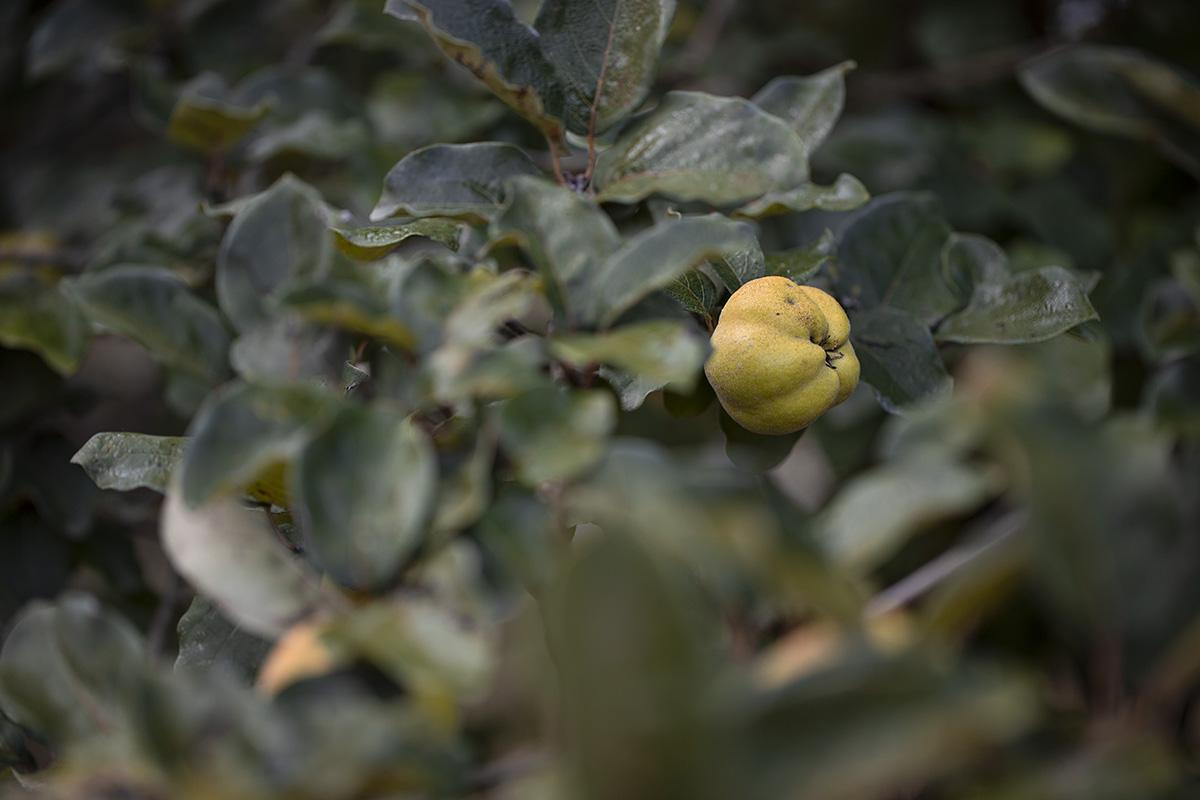 albero di mele cotogne